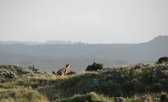 Ethiopian Wolf (jtkerb) Tags: ethiopia canissimensis ethiopianwolf guassa