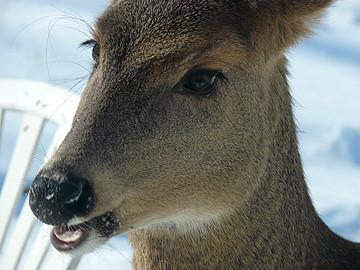 A herbivorous deer
