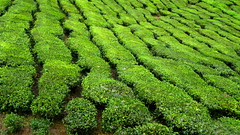 Tea (Sanctu) Tags: mountain plant green highlands estate tea gardening farm farming cameron crop malaysia plantation cameronhighlands pahang boh highaltitude visitorcentre tealeaves tealeaf bohtea tanahtinggicameron