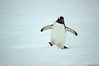 Plump little guy (Florent Abaziou) Tags: penguin nikon antarctica iceberg d100 hurtigruten msfram