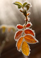 Orange Frost - EXPLORED (Beccy Melling) Tags: autumn winter red orange fallleaves sunlight snow plant macro green hoja ice gelo leaves yellow closeup canon eos rebel frozen leaf