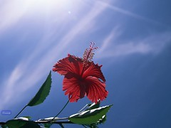 Flower - Sky - Sunshine (<T-Y>) Tags: blue red summer sky sun flower green iran north  abad abbad        mahmod  mahmmod