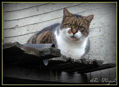 Tom (Sz*Alex's-51) Tags: tom cat catnipaddicts