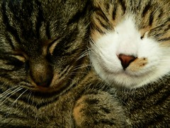 sleeping Ash and Tabby (star-fielder) Tags: sleeping cats animal cat kitten sleep tabby soe abigfave bestofcats platinumphoto anawesomeshot ultimateshot goldstaraward 5boc boc0109