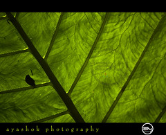 Yes Im Tagged (ayashok photography) Tags: sunlight green leaf nikon nikonstunninggallery nikond40 ayashok nikor55200mm
