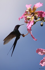 Srie com o Beija-flor Tesoura (Eupetomena Macroura) - Series with the Swallow-tailed Hummingbird - 24-01-2009 - IMG_0069 (Flvio Cruvinel Brando) Tags: brazil naturaleza bird nature birds animal animals braslia brasil cores hummingbird natureza pssaro aves ave series hummingbirds swallow animais cor pssaros srie beijaflor tesoura colibri macroura beijaflortesoura sries colibris eupetomenamacroura beijaflores swallowtailedhummingbird eupetomena