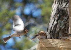 Watch where you're going 'lil birdy! (Tea Wells) Tags: bird sparrow 458