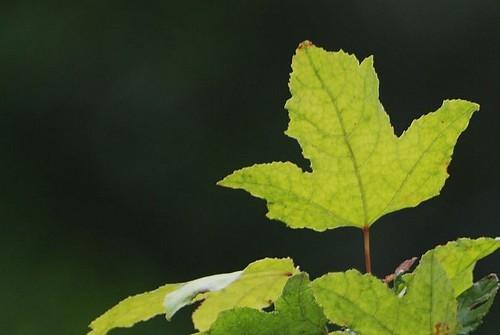 望龍埤旁的楓葉
