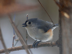 Tufted Titmouse (MrC_5150) Tags: birds nh titmouse tufted
