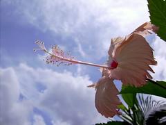 Pinkibisco (Tarcísio Schnaider) Tags: pink flowers brazil flores flower fleur brasil amazon flor rosa hibisco 花 blume fiore pará fotógrafo bloem amazônia 꽃 花卉 цветок barcarena mitsuca itupanema λουλουδι viladeitupanema