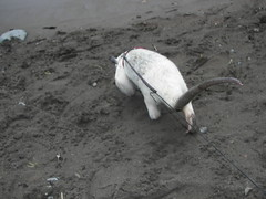 Pua tamandua on the beach