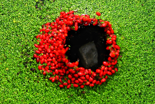 red berries | black hole | green duckweed | landart / walter mason