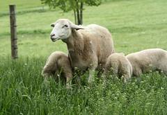 Yearling ewe
