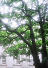 たまくすの木