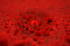 War Hero 2 (Bewdlerian) Tags: world red field catchycolors dark one 1 blood war alone very entirely great hero poppy poppies fields lone ww1 greatwar worldwar ypres soaked flanders feilds 1916 flandersfields somme veryred unsung bloodred