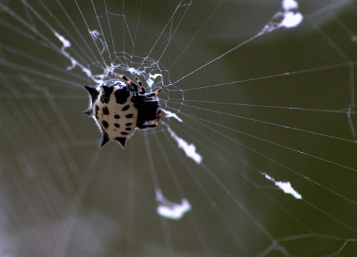 Spiny Backed Orbweaver