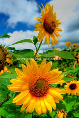 Sunflowers in Tomohon (diankarl (www.diankarlina.com)) Tags: travel flowers nature yellow indonesia daylight asia north sunflowers sulawesi manado celebes tomohon menado flickrchallengegroup thechallengegame challengegamewinner diankarl diankarlina wwwdiankarlinacom