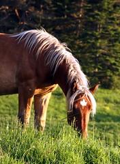 Canada (Fotourbana) Tags: horse canada leaf maple bravo themoulinrouge galope meencanta mywinners fotourbana impressedbeauty