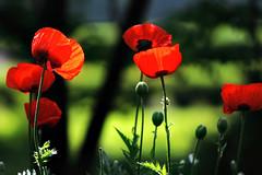 La Vie en ..Rouge! (Imapix) Tags: red flower fleur garden rouge photo photographie jardin imapix imagepoetry visiongroup infinestyle imapixphotography gatanbourquephotography