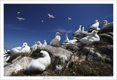 Gannets on Saltee Island (HaukeSteinberg.com) Tags: ireland bird birds animal animals island wildlife selection irland chick insel wexford soe gannet saltee tlpel northerngannet morusbassanus basstlpel ire sulabassana aplusphoto avianexcellence fineimage