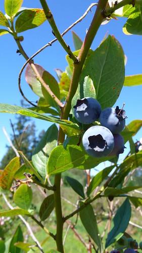 可愛的藍莓