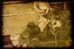 Beauty and Stillness--Indecision Revisited: 2 of 3 (figment_) Tags: flowers roses flower texture vintage artistic textures faded layers textured ttv justimagine flickrswarmlighting artistictreasurechest sailsevenseas
