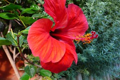Penetrante, trompeta (Jordi TROGUET (Thanks for 1.540.000+views)) Tags: leica travel viaje flowers flower macro green nature colors digital wow photography europa loveit hibiscus passion catalunya ping turismo cambrils soe tarragona amazingcolors thinkpink naturegro