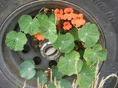 July-14-2008-02 (morgret) Tags: truck tire halfmoonbay nasturtium