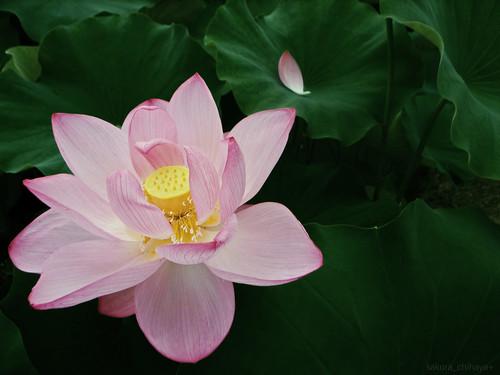 R0014245 : Lotus2008 #11
