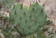 Love! It's A Thorny Problem! (Ben Ward In Hove) Tags: redrockcanyon vacation cactus usa holiday nationalpark brighton desert lasvegas hove nevada nv wilderness thorns spines benward 13milescenicdrive benwardinhove benedictward