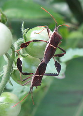 Please avert your eyes... (poppy2323) Tags: nature bug tomato insect wildlife mating leaffooted matinginsects coreidae hemiptera heteroptera phyllopus leptoglossus matingbugs