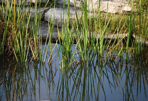 pond grass DSC_9968