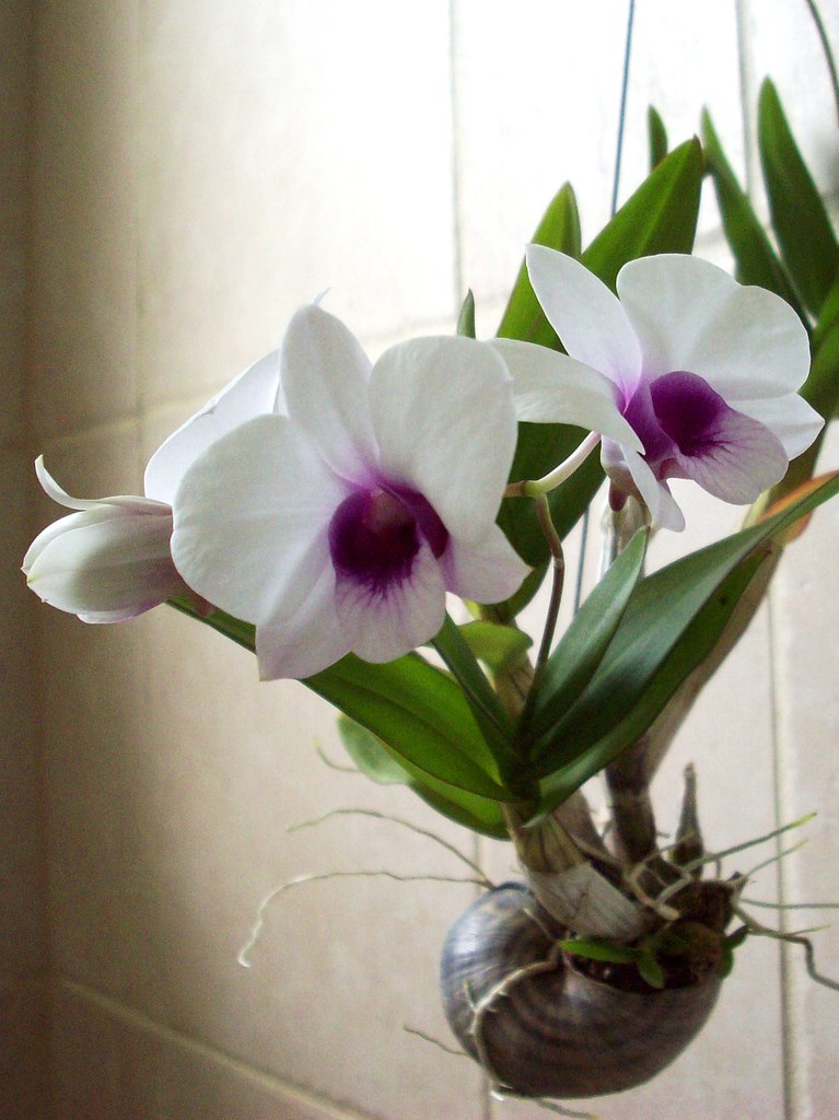 I likE plants!: Dendrobium bigibbum compactum (Hybrid)