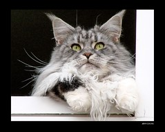 Fensterblick - windowsight  1 (Jorbasa) Tags: pet smart animal cat germany deutschland bestof hessen maine coon mainecoon maxwell katze kater wetterau jorbasa blackclassicsilvertabby