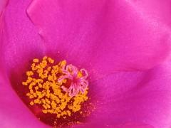 Portulaca grandiflora (✿ Graça Vargas ✿) Tags: pink flower onzehoras graçavargas portulacagrandiflora eleveno´clock ©2008graçavargasallrightsreserved 16111260709
