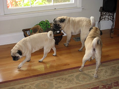 three pugs playing with some toys