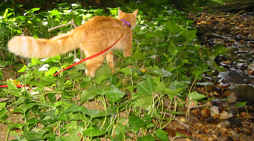 20080914 - cats visit our creek - 168-6813 - Oranjello - to the rescue - walking away to locate LJ - please click through to leave a comment on FlickR