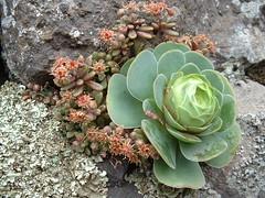 Greenovia_aurea_Monanthes_brachycaulon_Las_Lagunetas_ (bramwellii) Tags: grancanaria viajes crassulaceae aeonium floracanaria