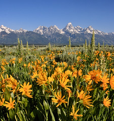 Sunshine Friday (Photo Passion) Tags: life trip travel flowers summer vacation snow mountains nature field yellow canon together daisy wyoming tetons majestic helenkeller 1635mm soupforthesoul gtnp xti photopassion