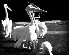 Flurry of Activity (Etrusia UK) Tags: uk blackandwhite pelicans mono nikon zoom unitedkingdom wideangle belfast northernireland ni pictureperfect ulster d300 nikkorlens coantrim 18200mm belfastzoo nikonlens vrlens nikon18200mm nikkor18200mm ysplix nikond300 awesomepictureaward top20gray ysplixblack