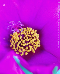 Hidden Jewel (www.LKGPhoto.com) Tags: pink flower macro nature yellow garden colorful vivid tropical myyard portaluca masterphotos wwwlkgphotocom