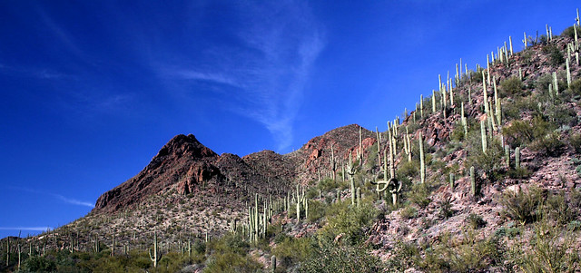 Cacti of Sonoran Desert