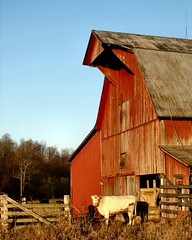 Red, White and Blue (cindy47452) Tags: barn cow farm indiana amish orangecounty gefree oldorder sansogm gentechnikfrei gmofreeworld amischkuh