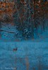 Deer at Sunset (Harvey Brink - Canadian Visuals) Tags: nature flickr soe watcher cubism classique artcafe naturesfinest otw firstquality outstandingshots flickrsbest bej platinumphoto anawesomeshot anawesomesho isawyoufirst infinestyle newacademy overtheexcellence proudshopper goldstaraward rubyphotographer magicdonkeysbest goldenheartaward alwaysexc novavitanewlife deersunsetwildlifewinternaturemuledeertrees sprucewillowgoldenlight worldclassnaturephoto