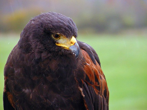 Vermont British School of Falconry Manchester