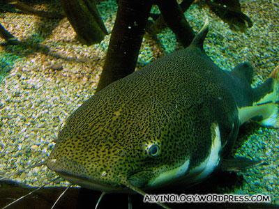A giant catfish