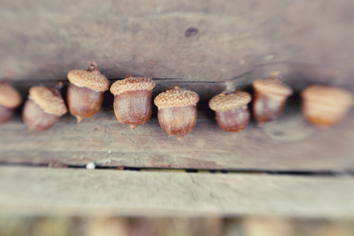 army of acorns
