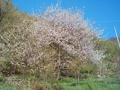 Flowers Mugello NatureTuscany Florence Castellone Zone 4° photo : il grande ciliegio selvatico di ValStefano