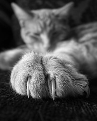 Claws! (Darren Marks) Tags: blackandwhite pet cat fur feline fluffy sharp domestic photofriday paws claws noteworthy ricohgrd