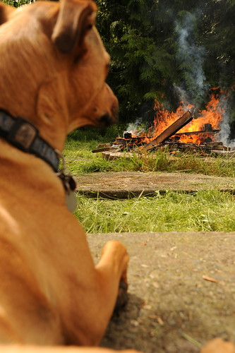 Rosie enjoys the fire in the firepit, Broadview, Seattle, Washington, USA by Wonderlane